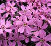 Shop Pink Creeping Phlox - 1 Gallon