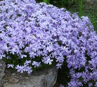Shop Blue Creeping Phlox - 10 ct. flat of 4