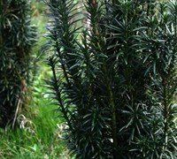 Fastigiata Upright Japanese Plum Yew - Cephalotaxus harringtonia 'Fastiagata'