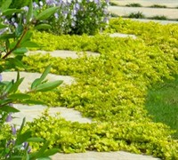 Aurea Golden Creeping Jenny