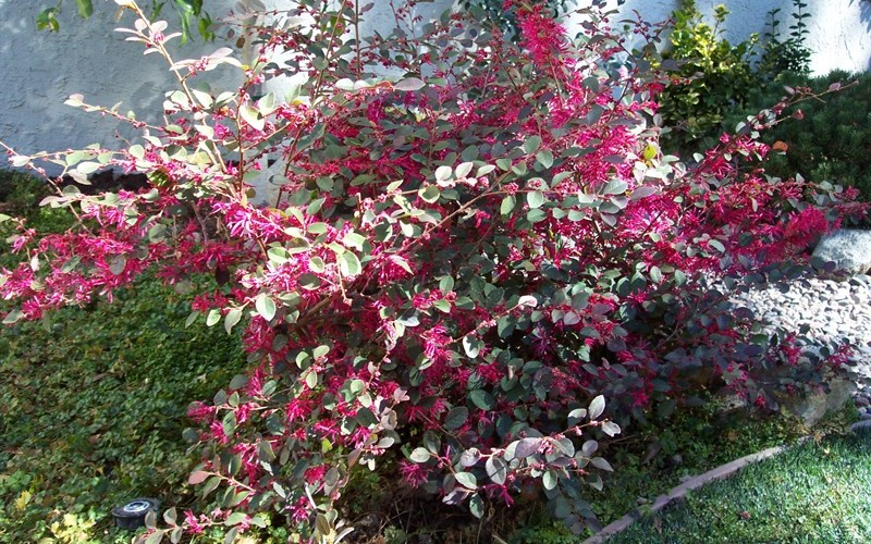 Plum Delight Loropetalum Photo 6