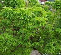 ShiShigashira / Lions Head Japanese Maple