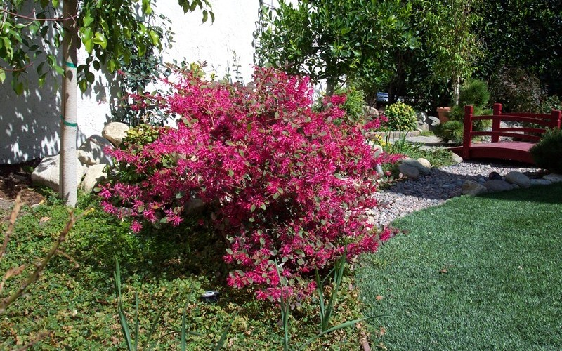 Plum Delight Loropetalum Photo 4