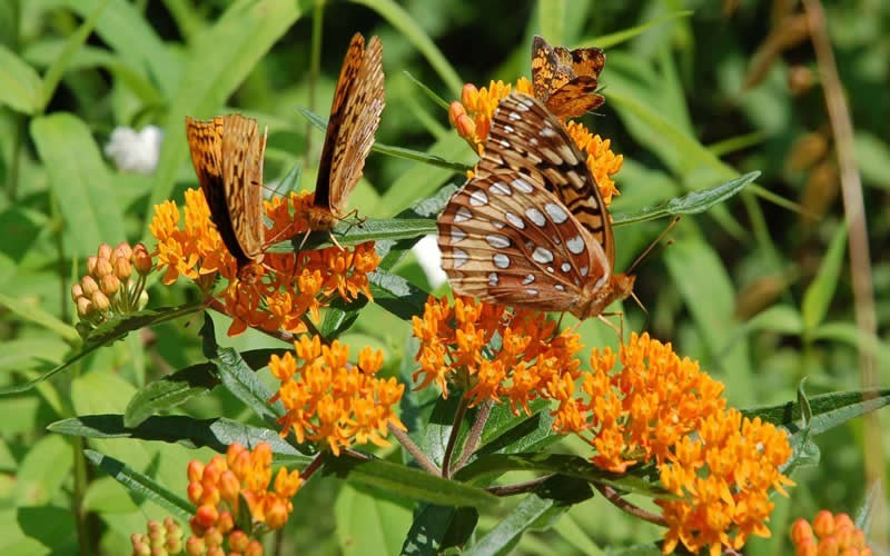 Butterfly Milkweed Photo 5