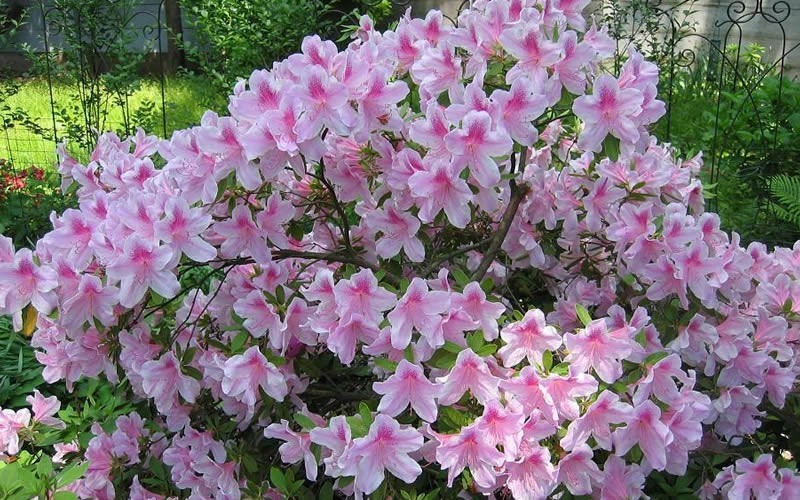 George Taber Southern Indica Azalea - 3 Gallon - Hedge or Screen Shrubs | ToGoGarden