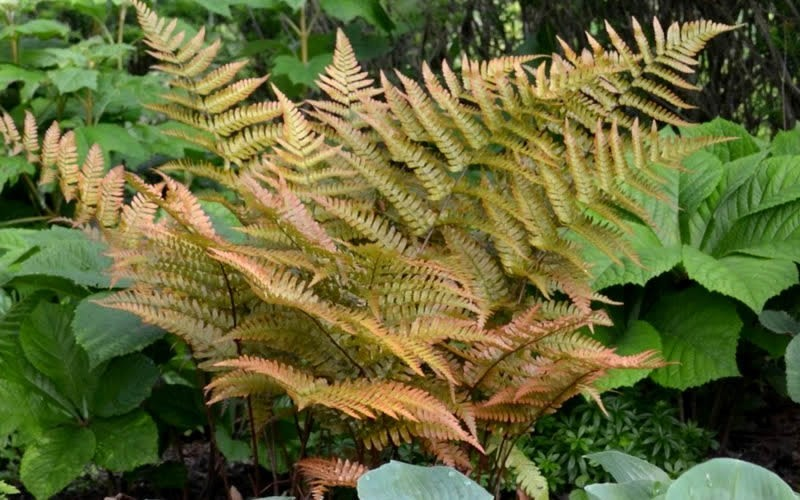 Autumn Fern - 1 Gallon - Perennials for Cut Flowers & Foliage | ToGoGarden