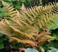 Shop Autumn Fern - 10 Count Flat of Quart Pots