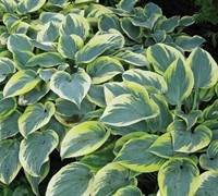 Shop First Frost Hosta Lily - 1 Gallon
