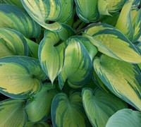 Shop June Hosta Lily - 1 Gallon