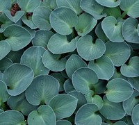 Shop Blue Mouse Ears Hosta Lily - 8 Count Flat of Quart Pots