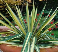 Color Guard Yucca - Yucca filamentosa 'Color Guard'