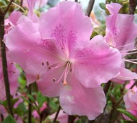 Autumn Sweetheart™ Encore® Azalea