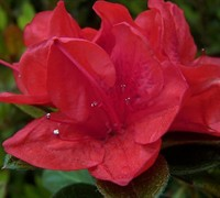 Autumn Ruby Encore Azalea