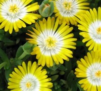 Shop Delosperma Jewel of the Desert Peridot - Ice Plant - 3 Count Flat of Pint Pots