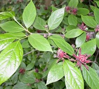 Sweet Shrub