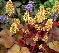 Little Cutie Blondie Heuchera - Coral Bells