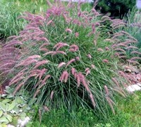 Karley Rose Fountain Grass - Pennisetum