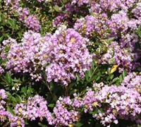Shop Early Bird Lavender Crape Myrtle - 2 Gallon