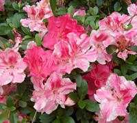 Shop Conversation Piece Azalea - 3 Gallon