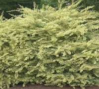 Swift Creek Dwarf Variegated Privet