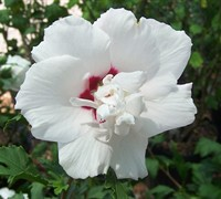 Morning Star Althea Hibiscus Rose Of Sharon - Hibiscus syriacus 'Morning Star'