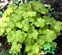 Heuchera x villosa 'Citronelle'  PP17934    Fancy Leaf Coral Bells / Qt.