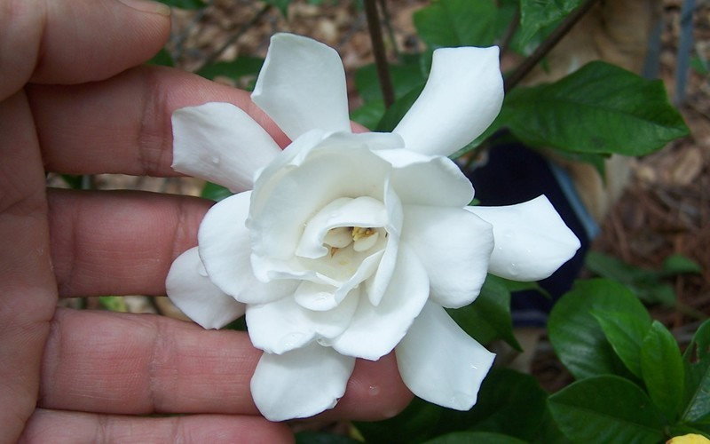 Fall In Love™ Gardenia - Gardenia jasminoides ' Fall In Love'