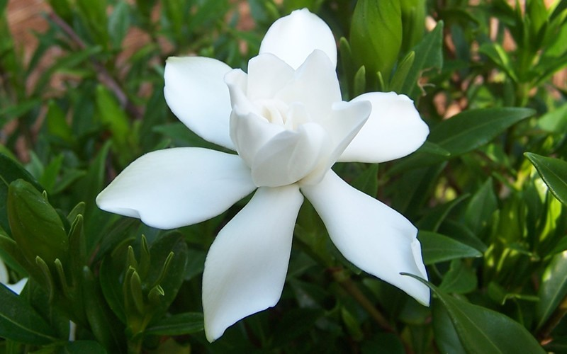 Frost Proof Gardenia Photo 4