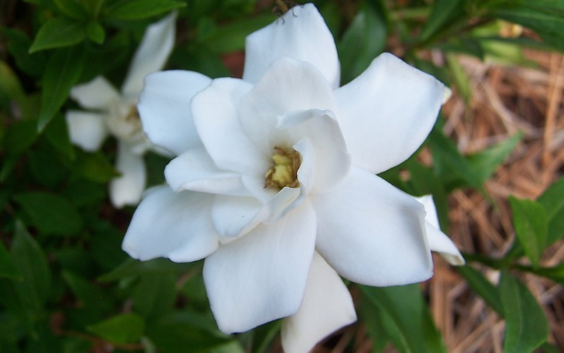 Frost Proof Gardenia Photo 3