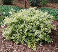Lemon Lime Dwarf Abelia - Abelia grandiflora 'Lemon Lime'