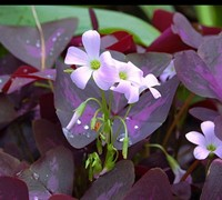 Purple Shamrock