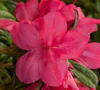Autumn Jewel Encore Azalea