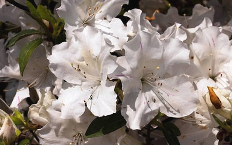 Autumn Ivory Encore Azalea Photo 3