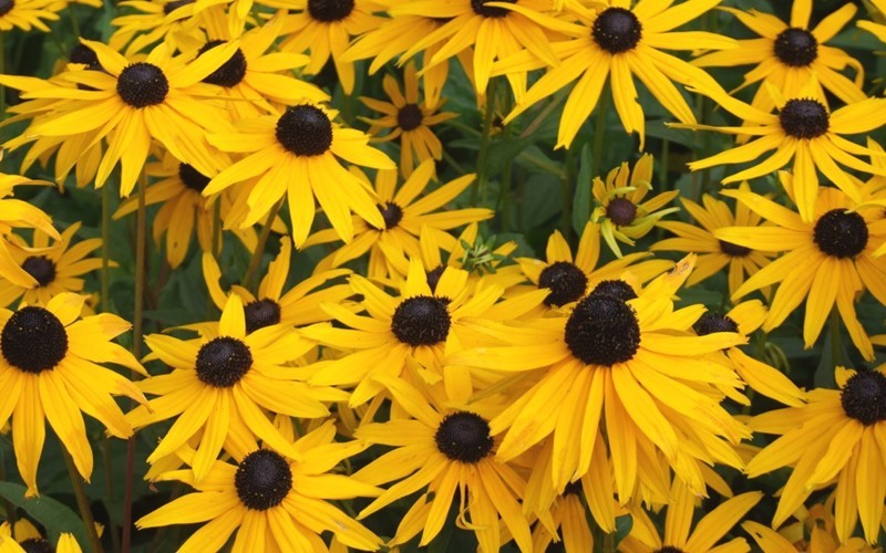 Black Eyed Susan - 1 Gallon - Long Blooming Perennials | ToGoGarden