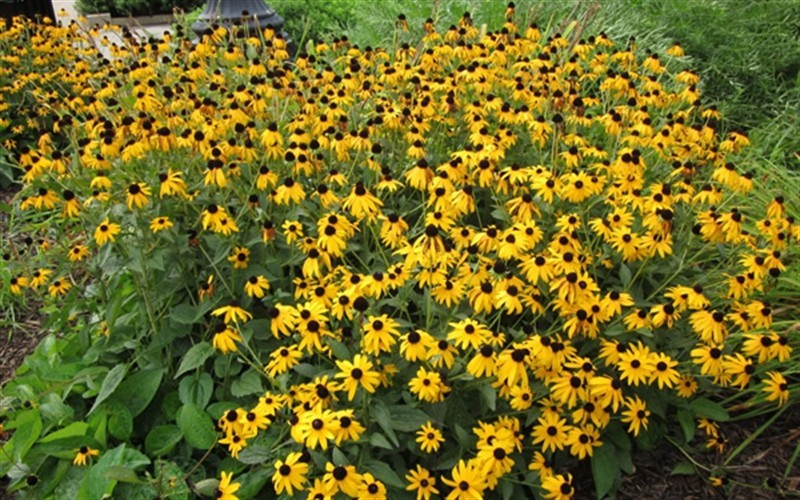 Black Eyed Susan Photo 4