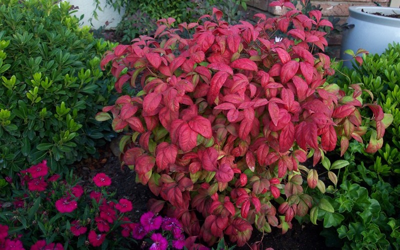 buy firepower dwarf nandina 3 gallon shrubs for spring color buy plants online. Black Bedroom Furniture Sets. Home Design Ideas