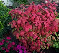 Shop Firepower Dwarf Nandina - 3 Gallon