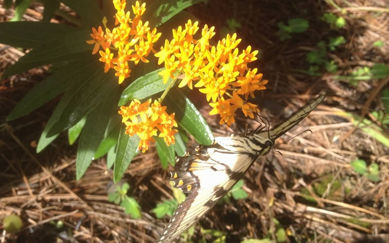 Butterfly Milkweed Photo 3
