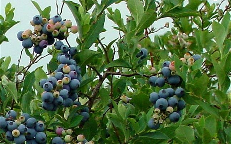 Buy Ochlockonee Rabbiteye Blueberry Vaccinium Ashei