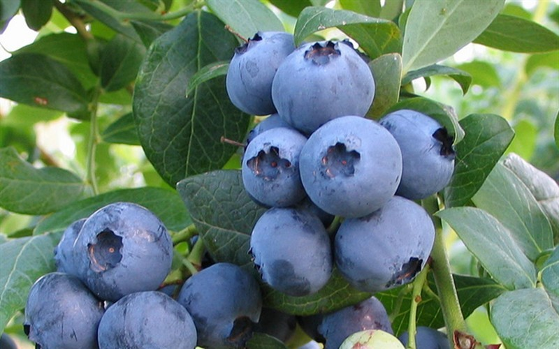 Rabbiteye Blueberry - 1 Gallon - Blueberry Bushes - Rabbiteye | ToGoGarden