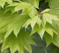Shop Golden Full Moon Japanese Maple - Acer shirasawanum 'Aureum' - 3 Gallon