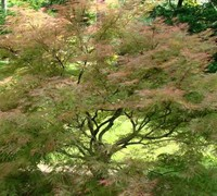 Baldsmith Japanese Maple